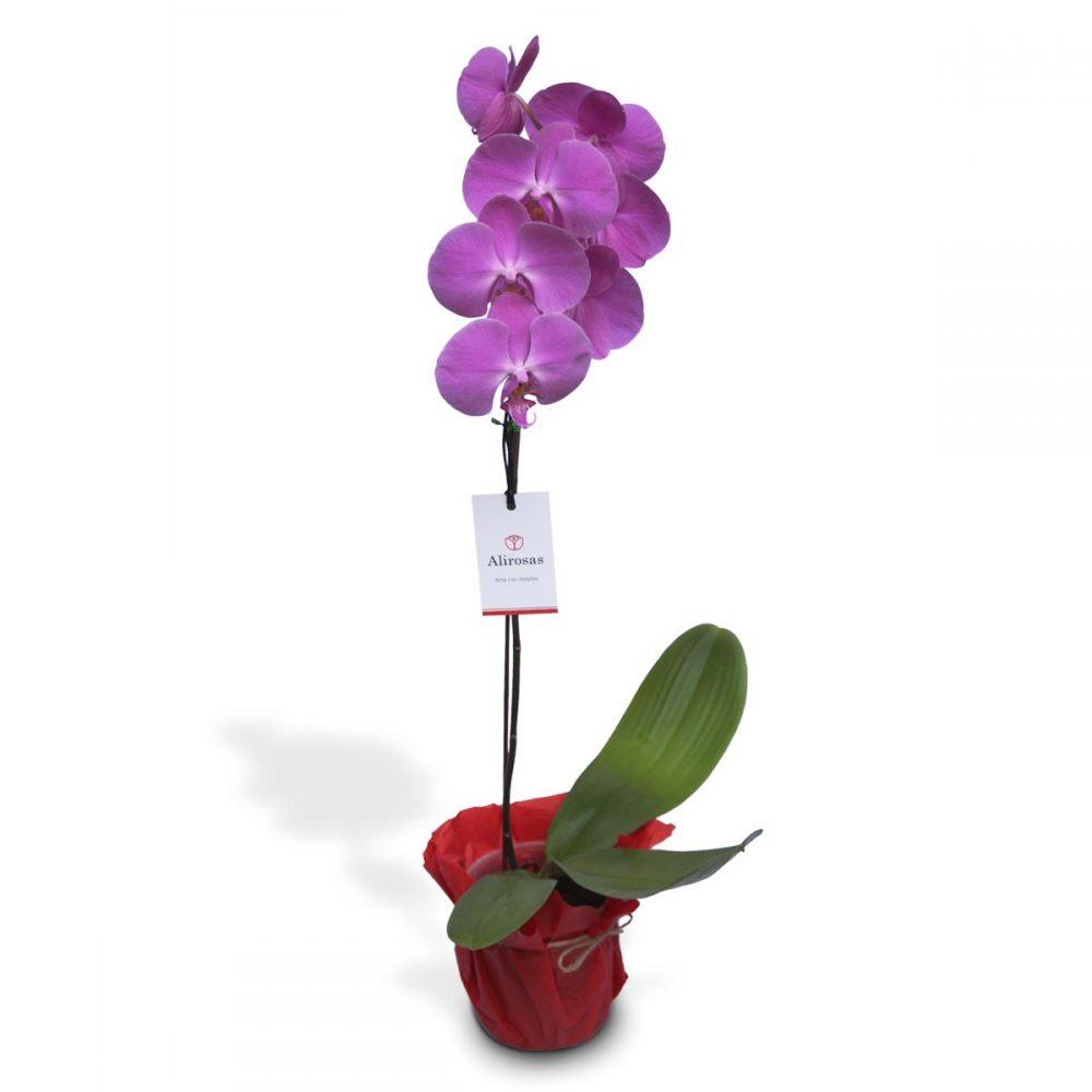 Planta de Orquídea: hermosa planta morada